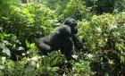 UGANDA: ECOSAFARI E GORILLA DI MONTAGNA