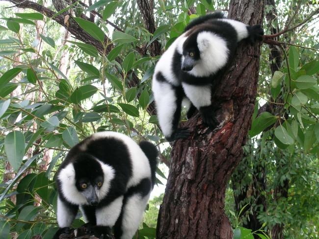 lemuri 1