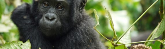 UGANDA: GORILLA TRACKING & PEOPLE